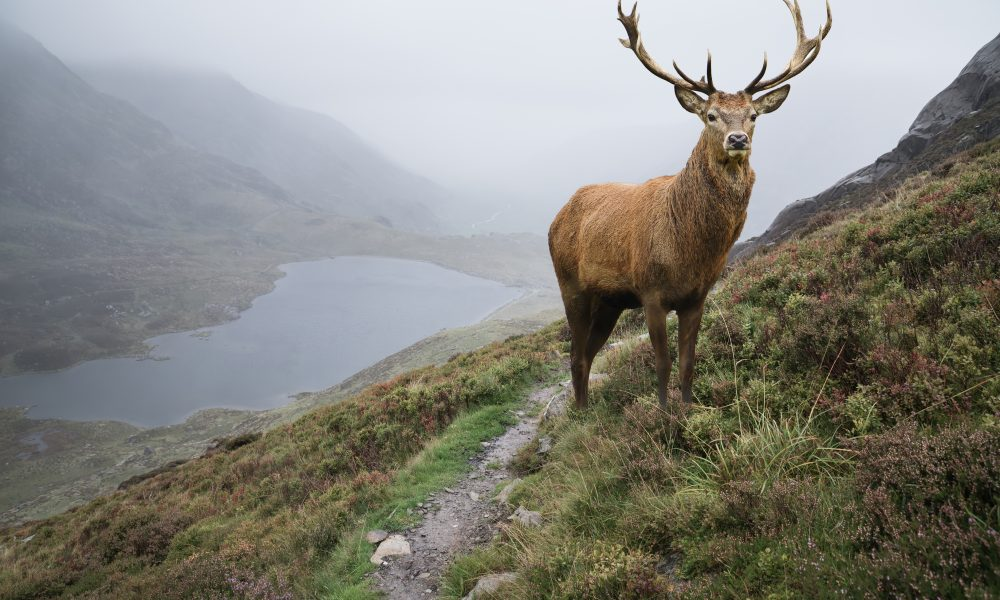 Landscape Image Of Red Deer Stag By Lake And Mountain Range In A